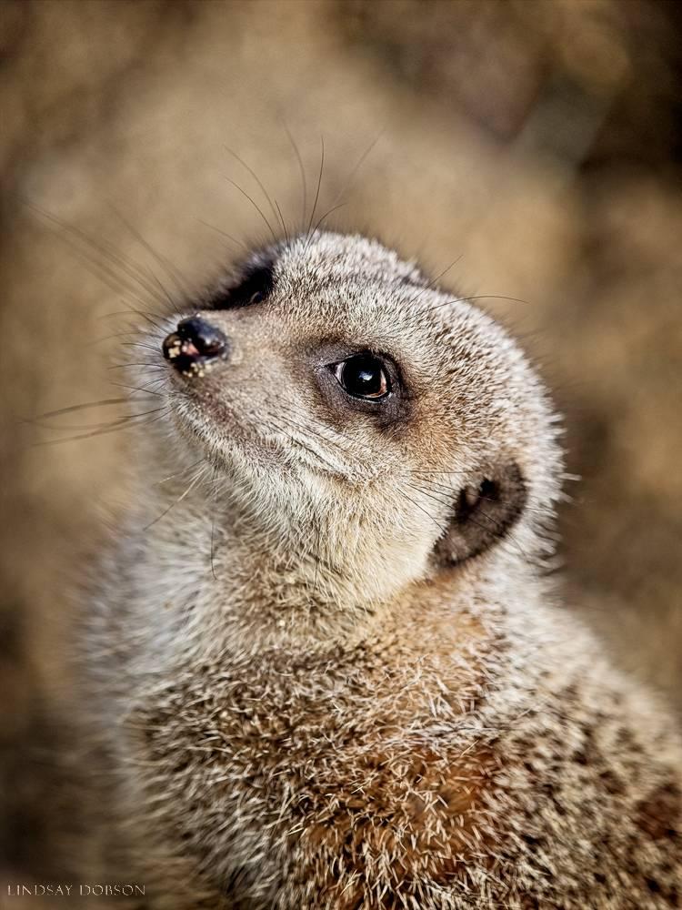 meerkat--wildlife photography-sussex-006.jpg