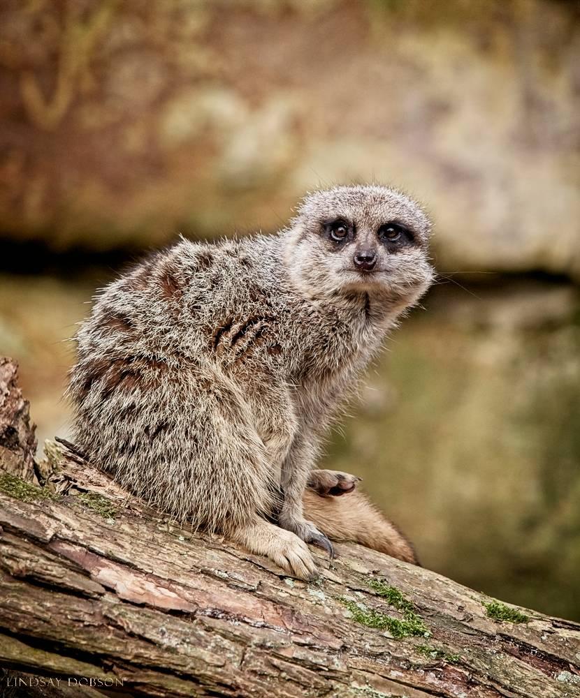 meerkat--wildlife photography-sussex-004.jpg