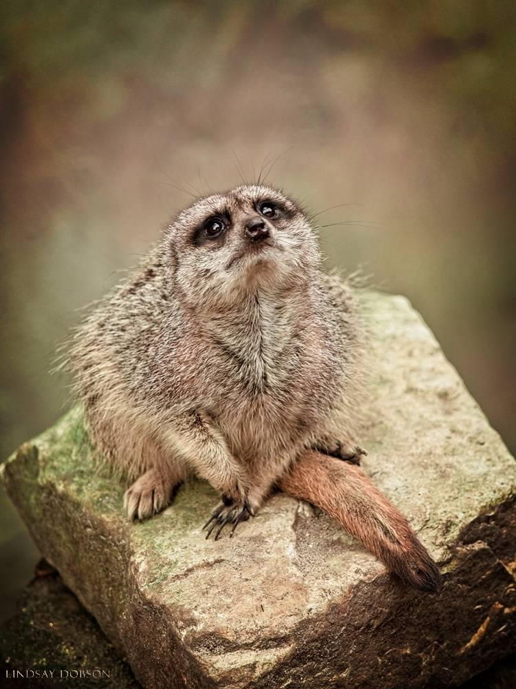 meerkat--wildlife photography-sussex-012.jpg