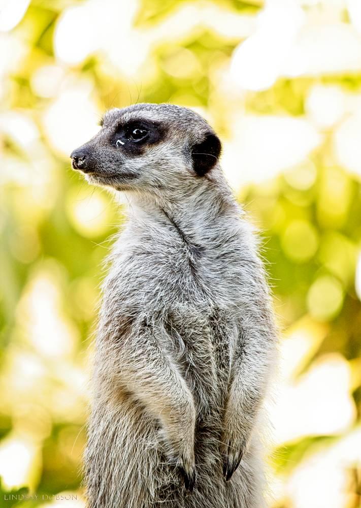 meerkat--wildlife photography-sussex-002.jpg