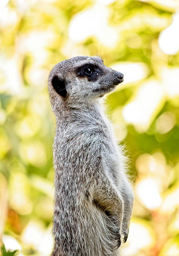 meerkat--wildlife photography-sussex-005.jpg