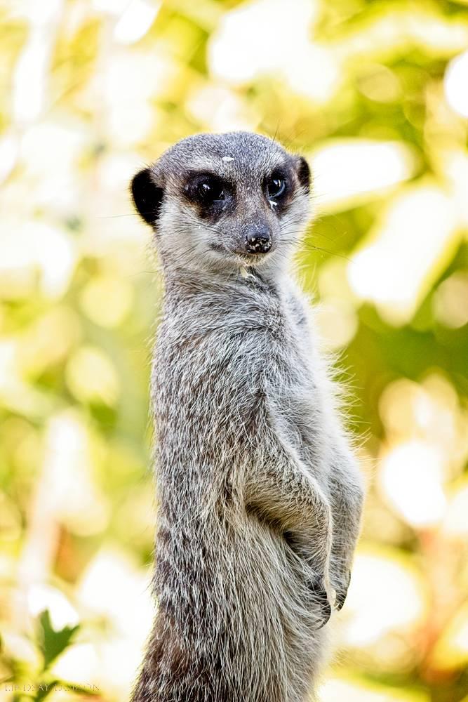 meerkat--wildlife photography-sussex-019.jpg