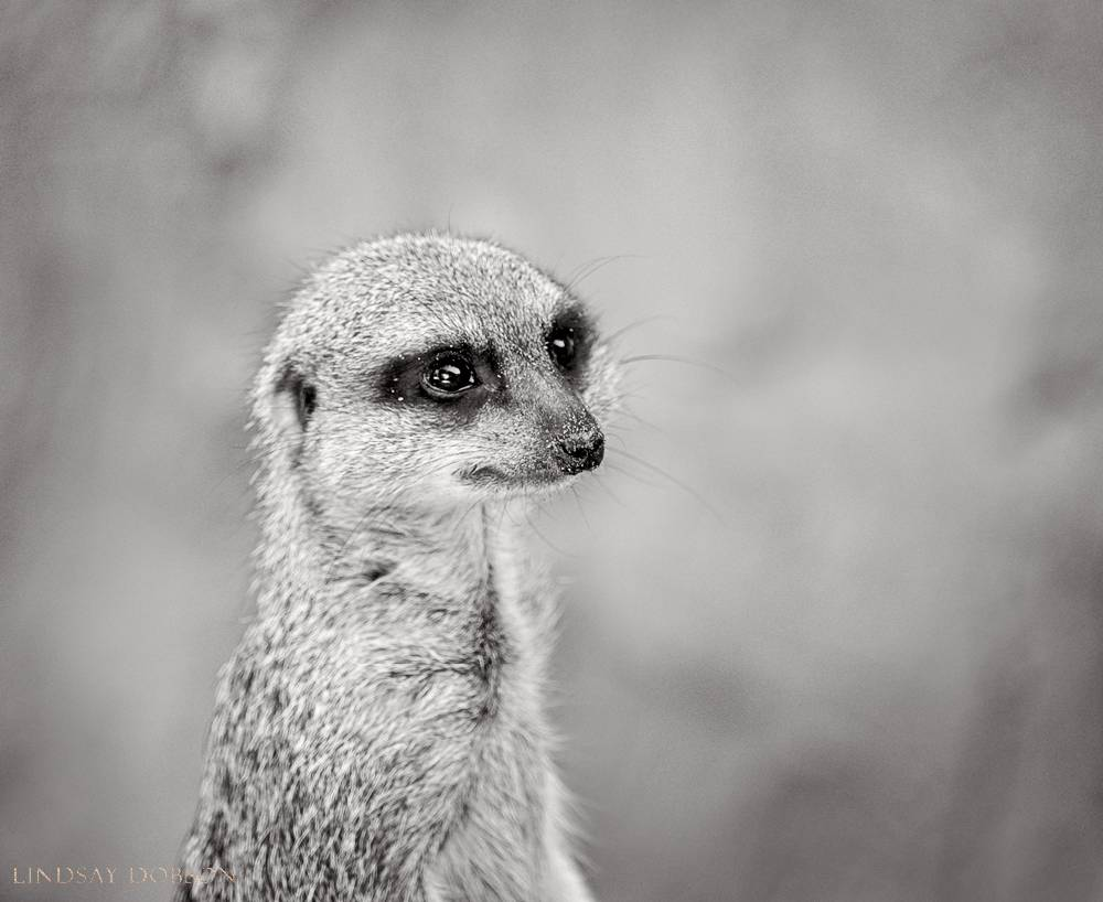 meerkat--wildlife photography-sussex-001.jpg