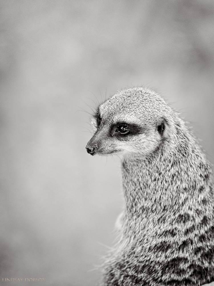 meerkat--wildlife photography-sussex-009.jpg