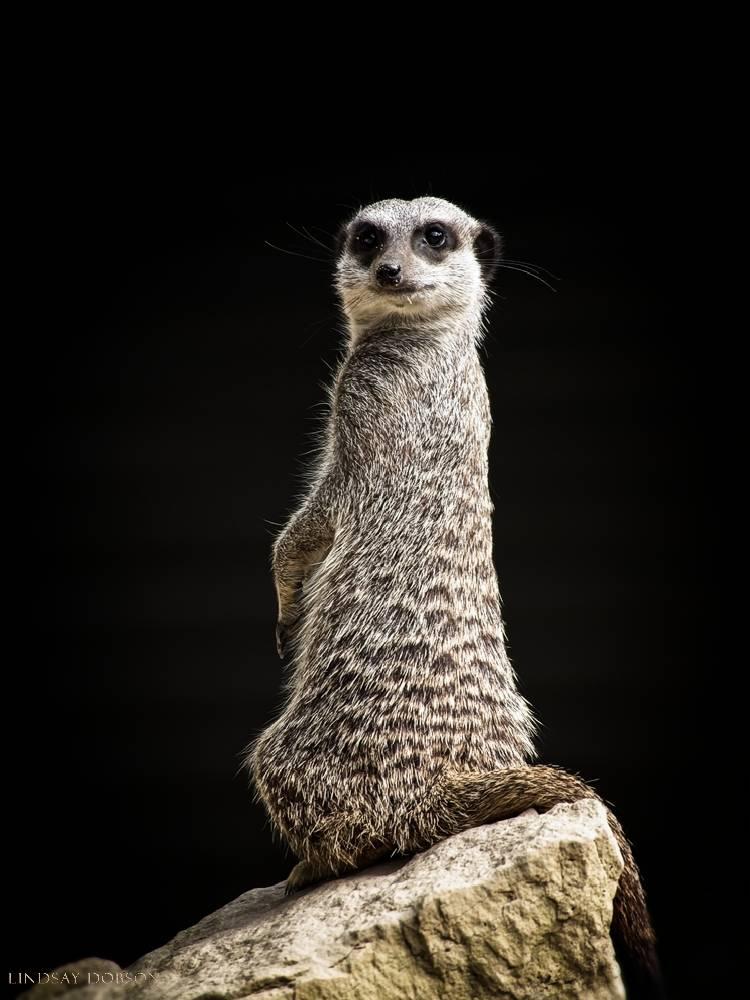meerkat--wildlife photography-sussex-011.jpg