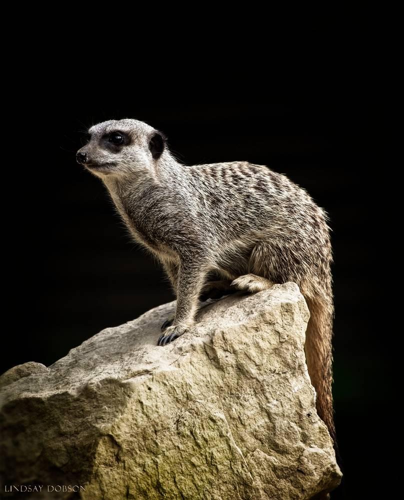 meerkat--wildlife photography-sussex-003.jpg