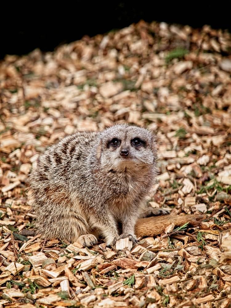 meerkat--wildlife photography-sussex-014.jpg