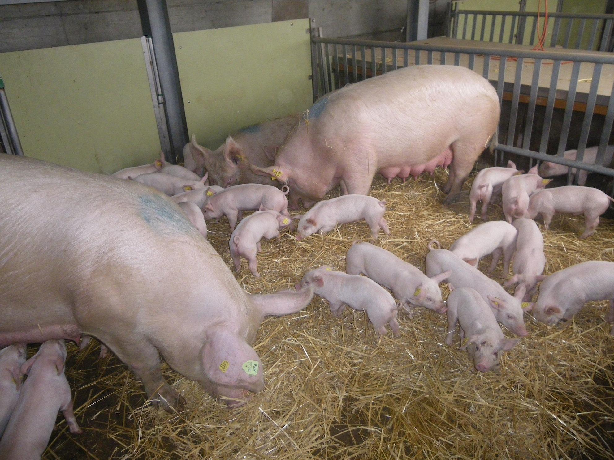 Schweinehaltung.jpg