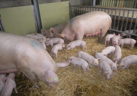 Schwein -