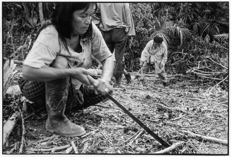 Harvesting Yuca , Quichua, Canelos, Pastaza, Oriente Ecuador, Amazonia, 1999