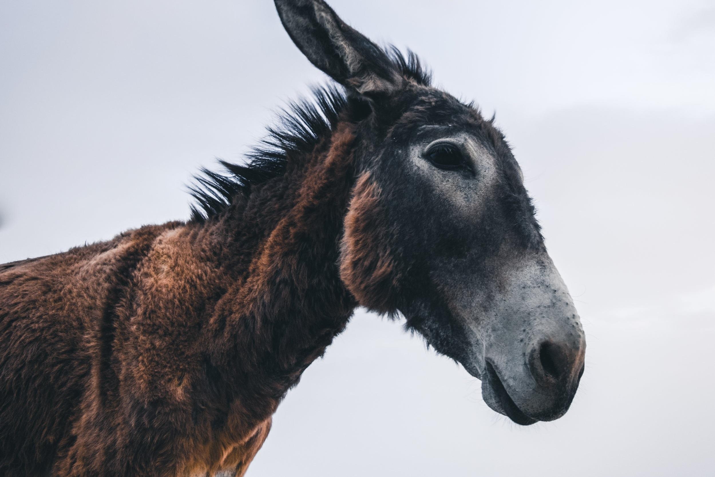 happy donkeys em Miranda - O Burro Mirandês está quase em extinção. Este projecto acompanha o trabalho da Associação AEPGA na preservação e aproveitamento desta raça autóctone de forma a salvar um património genético, ecológico e cultural único de Portugal. A AEPGA proporciona condições para a existência de burros felizes aumentando a sua qualidade de vida.