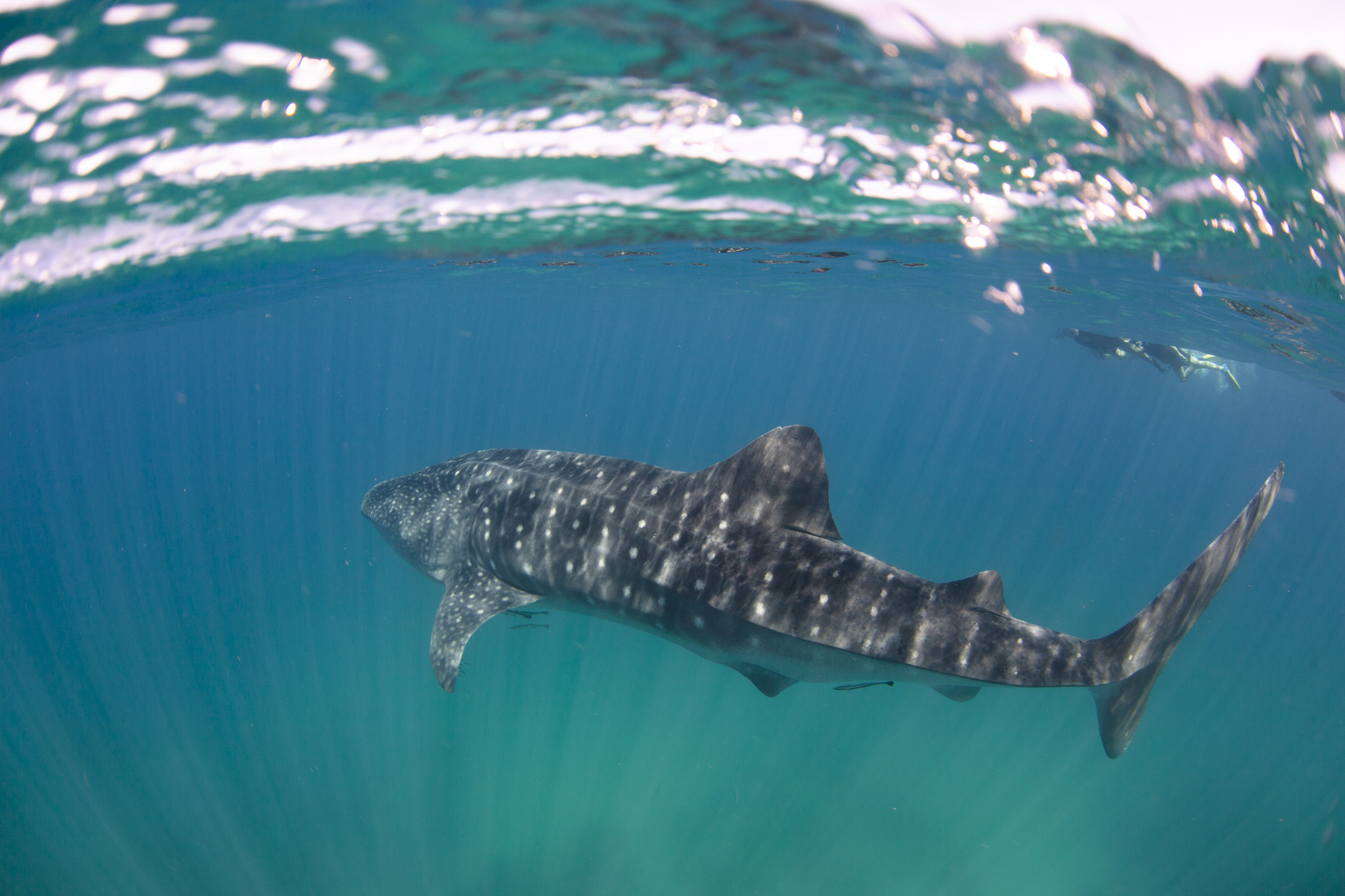 What a privilege to see this whale shark (image: Vee at Blue Media Exmouth)
