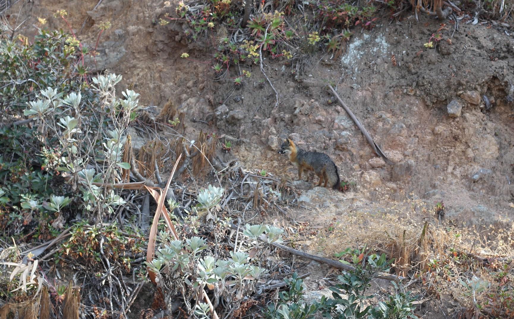 Sneaky little island fox.