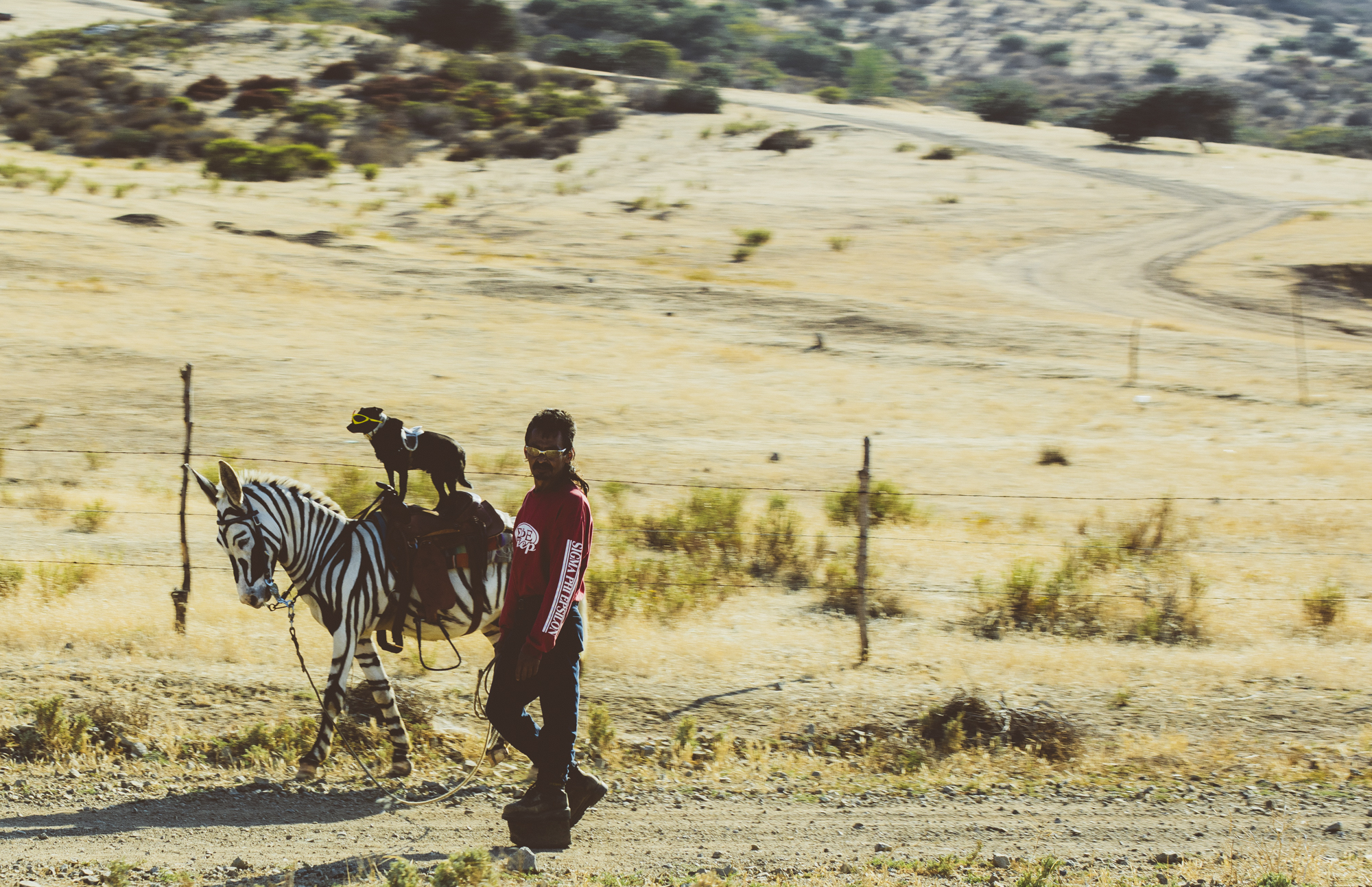 Headed out of Ensenada we caught a rare glimpse of the zonkey ridding, sunglass wearing dog!