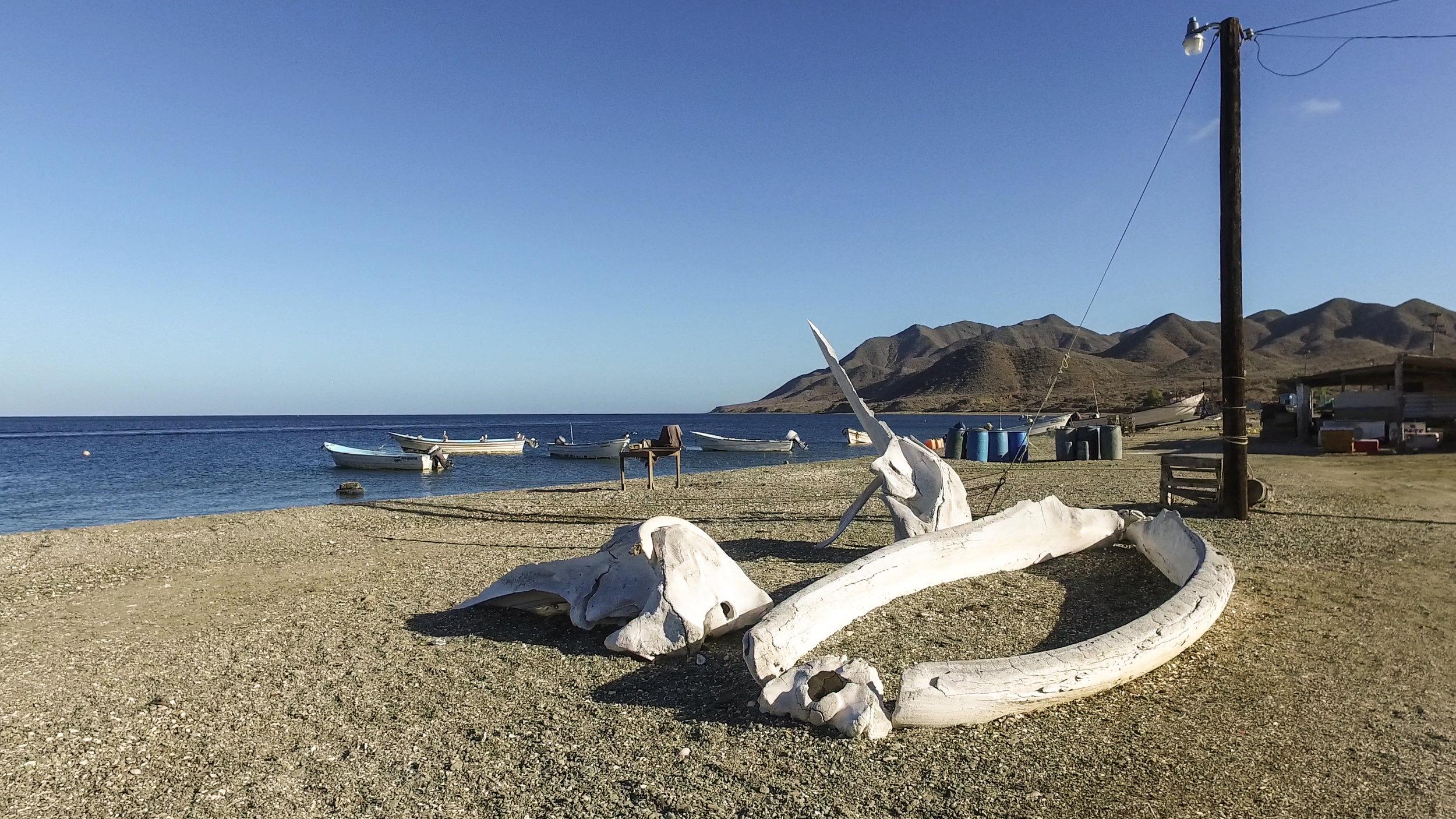 Whale bones piled up on the beach.