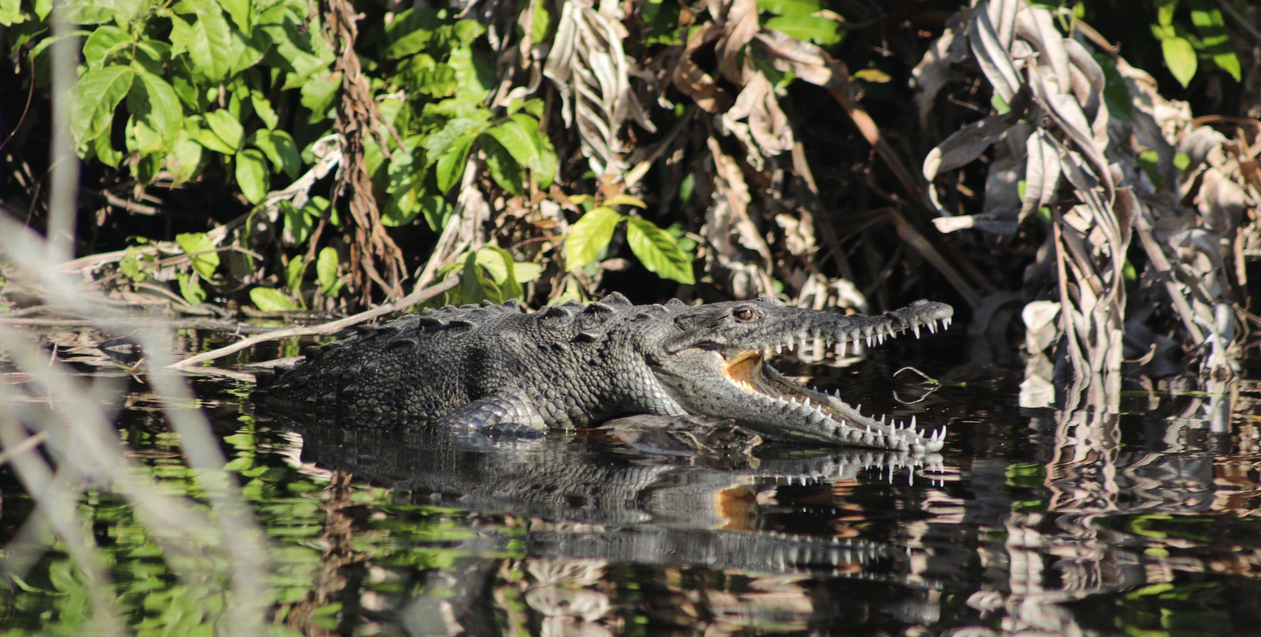 One of the many wild, american crocodiles we saw on our river tour.
