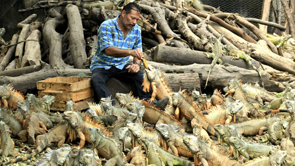 Ramon Senior feeding his beloved iguanas.