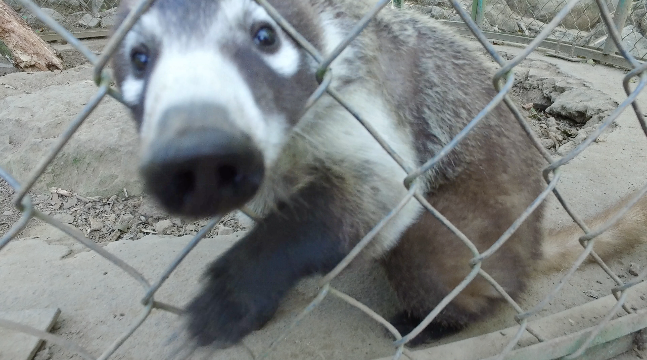 A friendly coati, anxious for a little attention.