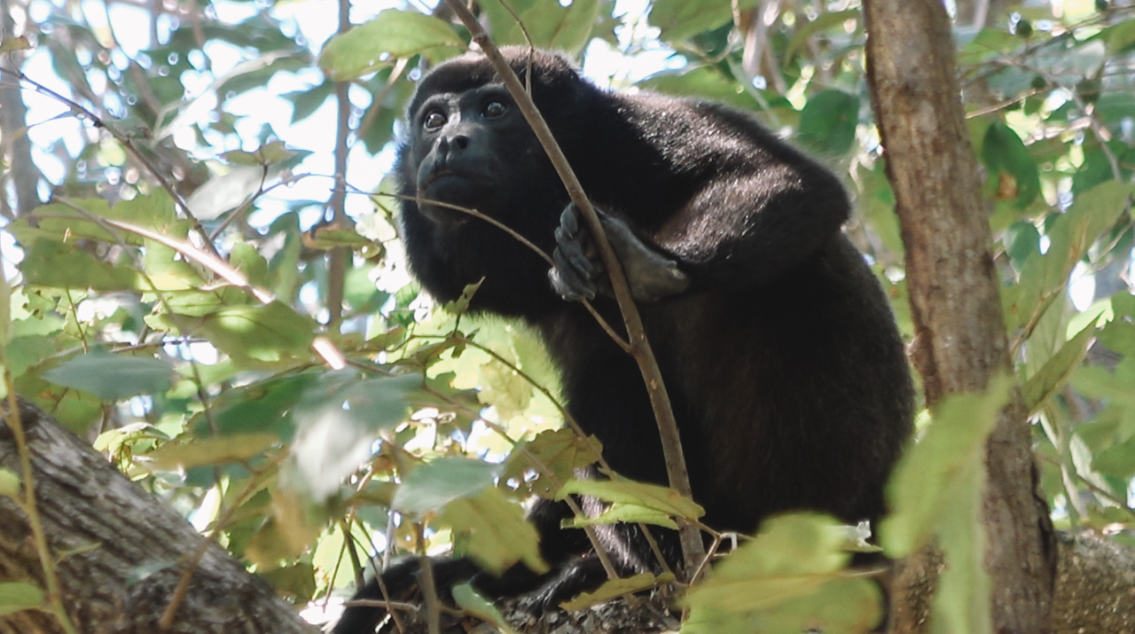 The first howler monkey we spotted in Nicaragua.