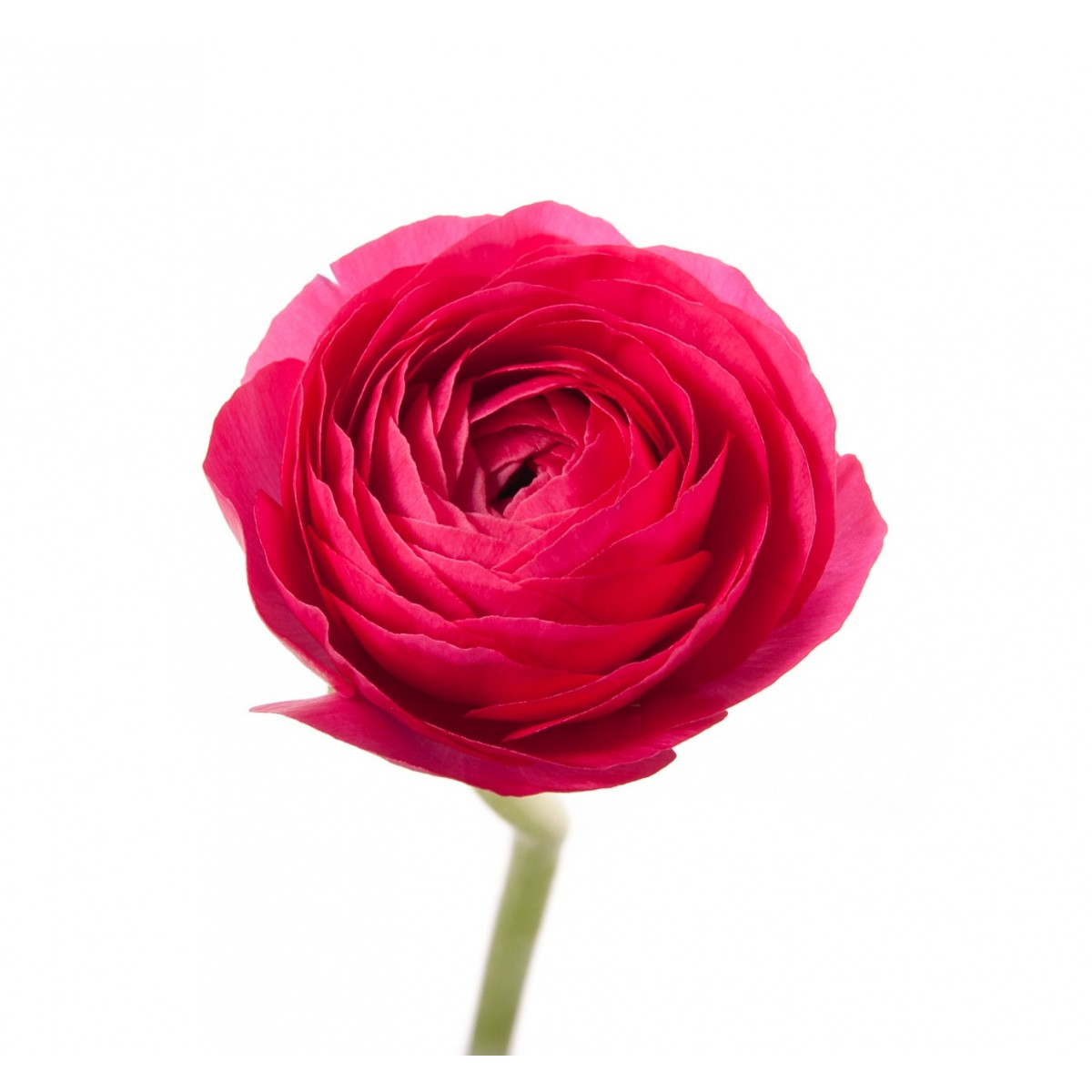 Hot Pink Ranunculus