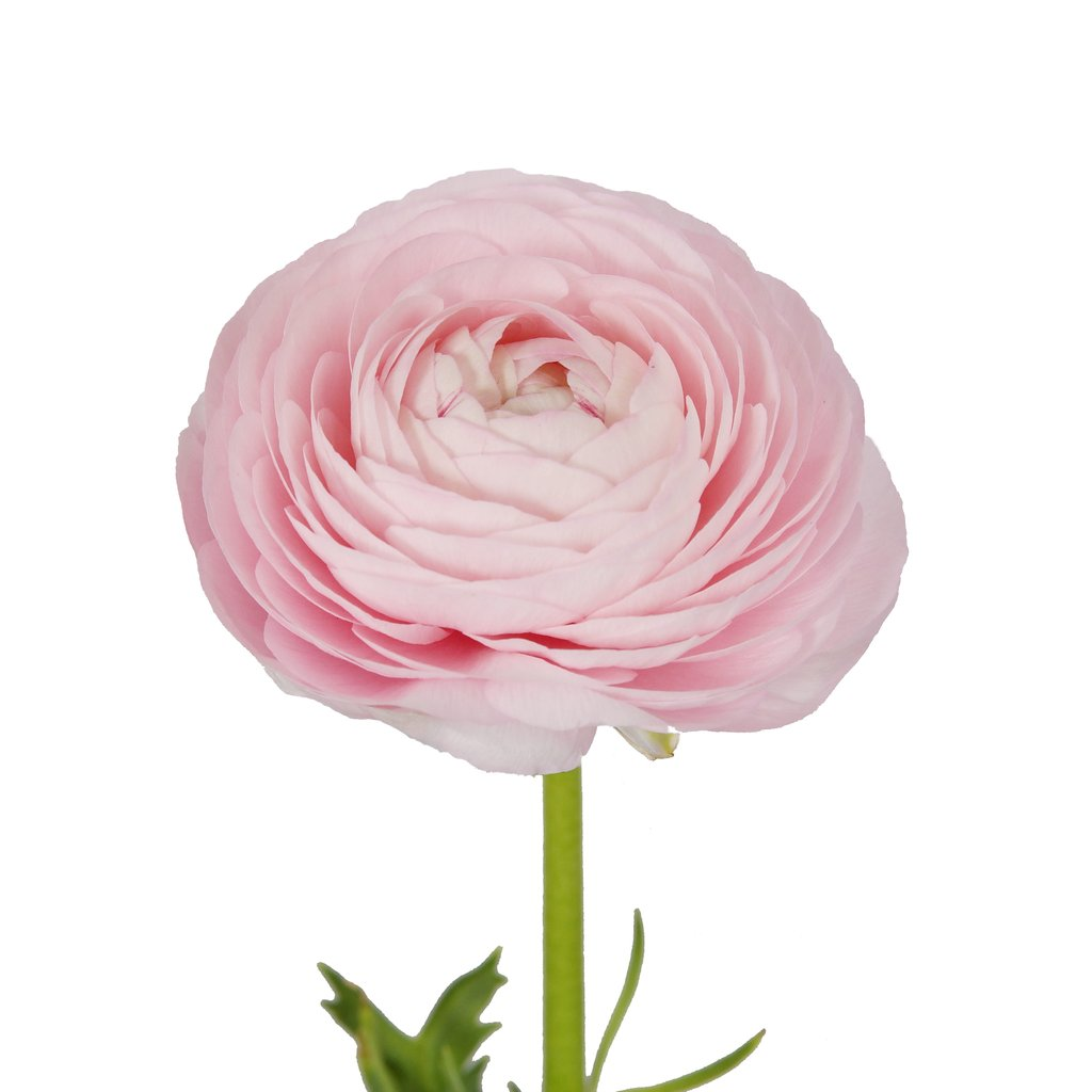 Light Pink Ranunculus