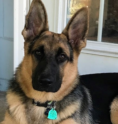 This is Axel (formerly called Ninja) from a previous Abbey x Rex litter. In this photo, Axel is just six months old - what a big, beautiful boy!