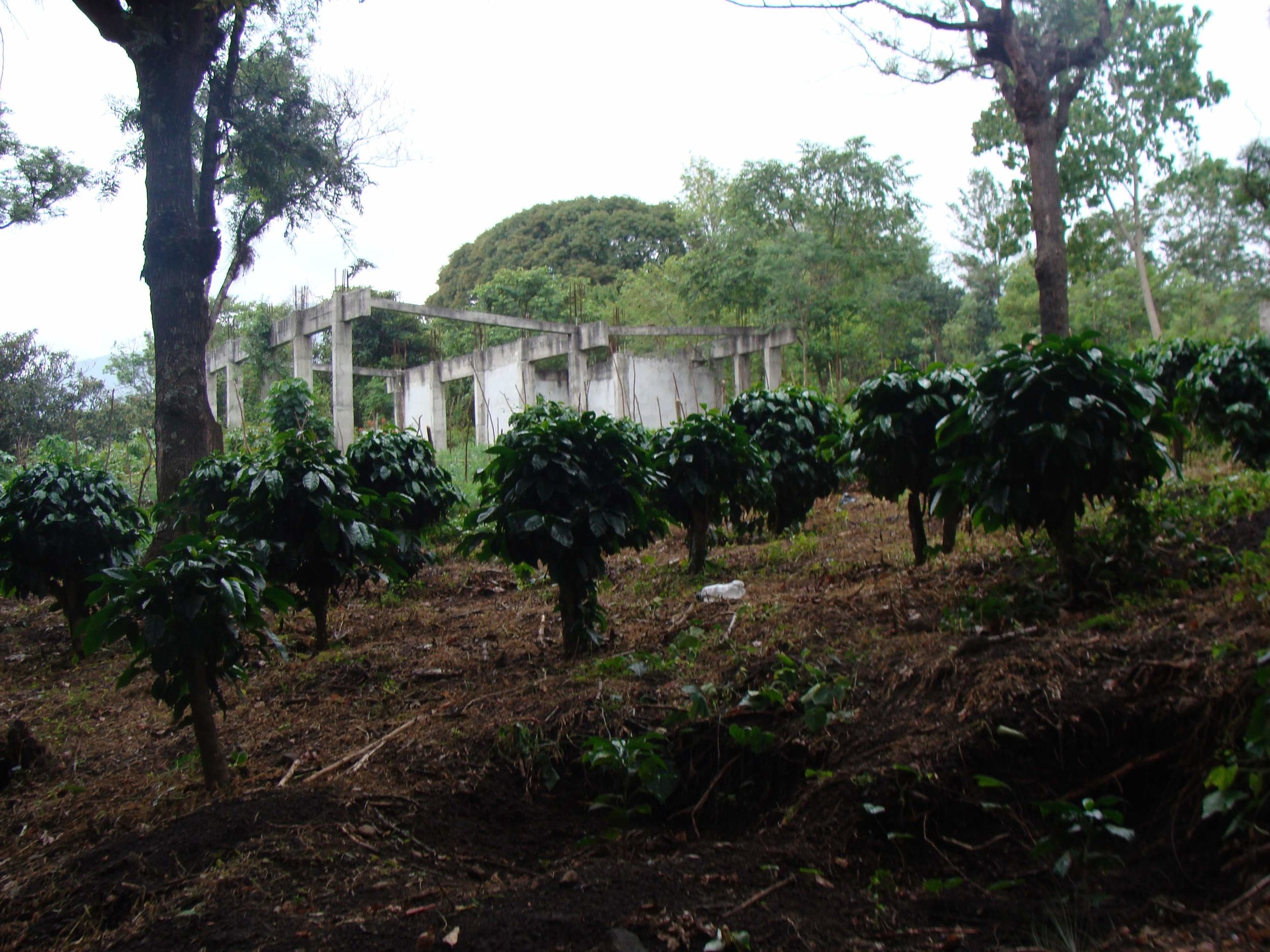 Coffee plants on the farm our coffee is sourced from!