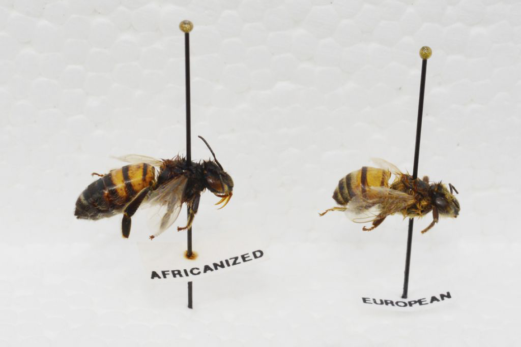 European Africanized Bees