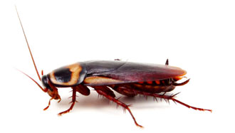 German Cockroach,   Blattella germanica