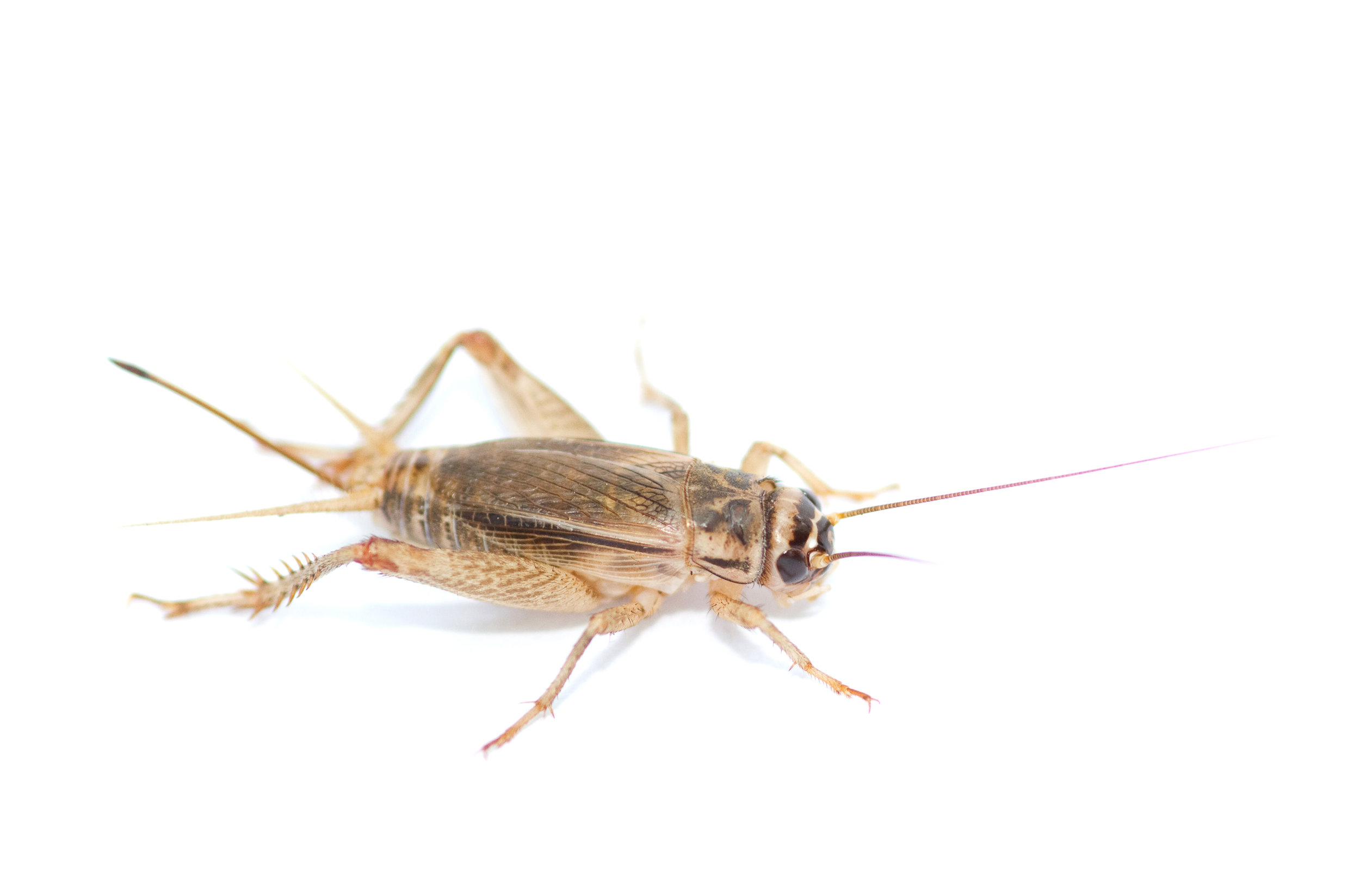 House Cricket,   Acheta domesticus