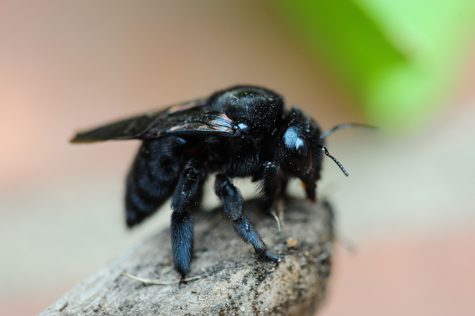 Carpenter Bee,   Xylocopa