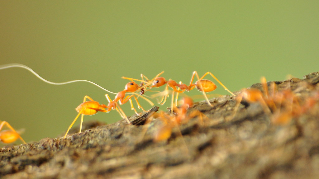 Fire Ants,   Solenopsis