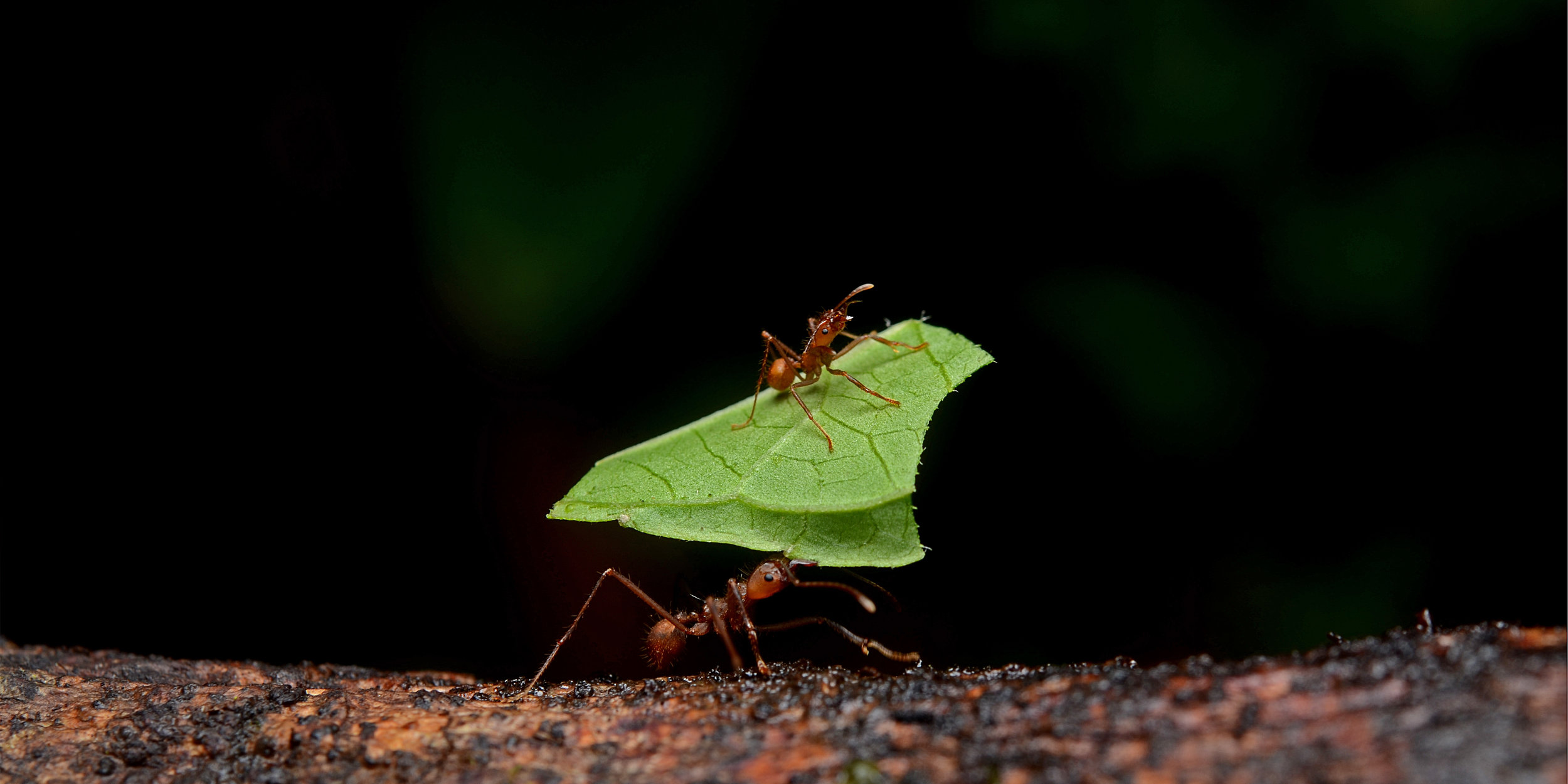 Leafcutter Ants,   Atta