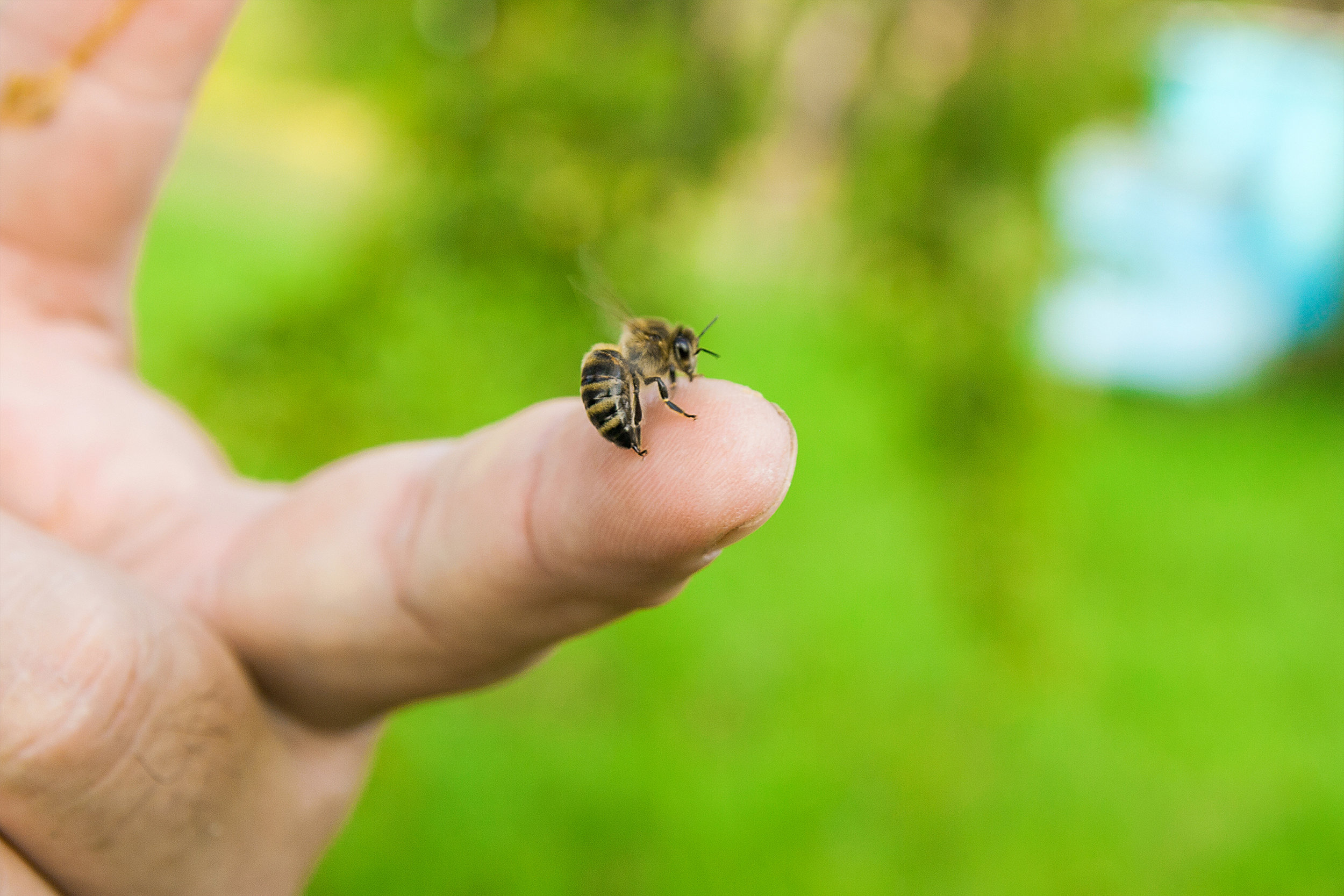 home remedies for bee stings.jpg