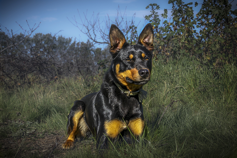 Overflow Tex - DOB: 9-May-2013Sire:Coogee Ace (Yallori Toss x Coogee Tess II)Dam:Tundabardi Opal (Neals Den x Lignum Nada)DescriptionOverflow Tex [Foster] is a work horse. This dog lives to work, Free backing and barking. H he is a solid build and very agile and works all day when needed. He is very easy to work and has good cover on his stock.
