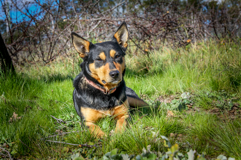 Hawkesbury Nell - DOB: 17-Dec-2010Sire:Backenbark Buck III (Capree Boss x Backenbark Katie)Dam: Ballysheehan Nell (Jalinda Diver x Capree Bess)DescriptionNell is a great all-rounder she is a natural backer and free barking. Nell is quick on her feet and very stylish she has walk up strength like her sire buck she is a medium size bitch. Her progeny are proven workers.