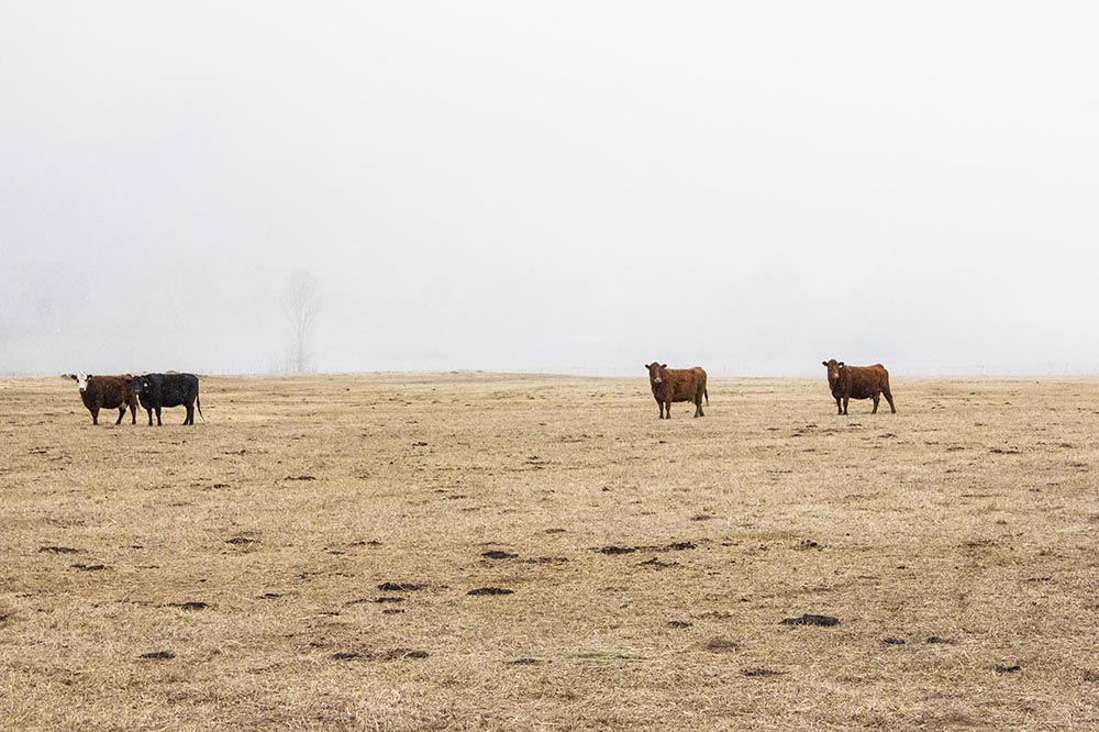 Cattle on pasture at Ferguson Family Ranches in Ridgway, Colorado.
