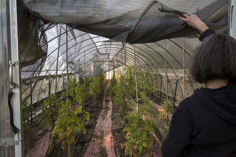 Carol enters the hoop house to check her tomato plants.