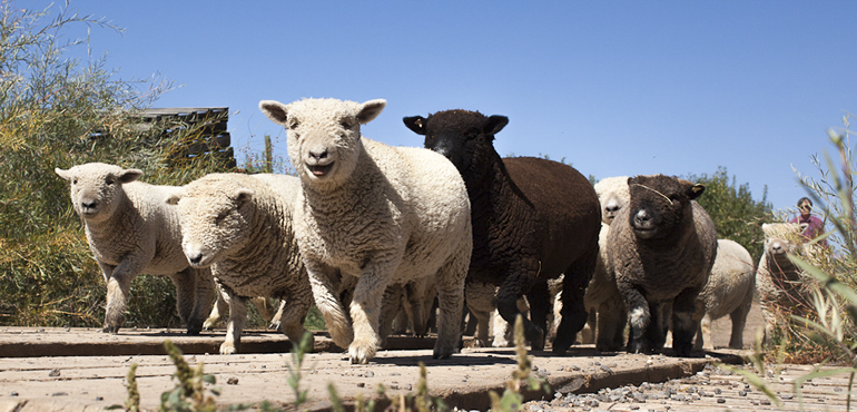 Baby doll sheep at Mesa Winds Farm & Winery.