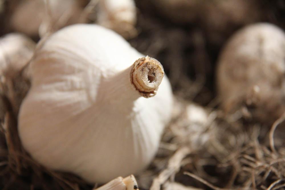 Steve's biggest crop yield each year is garlic.