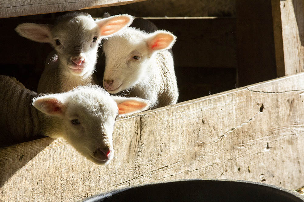 Lambs in the barn at High Five Meats.
