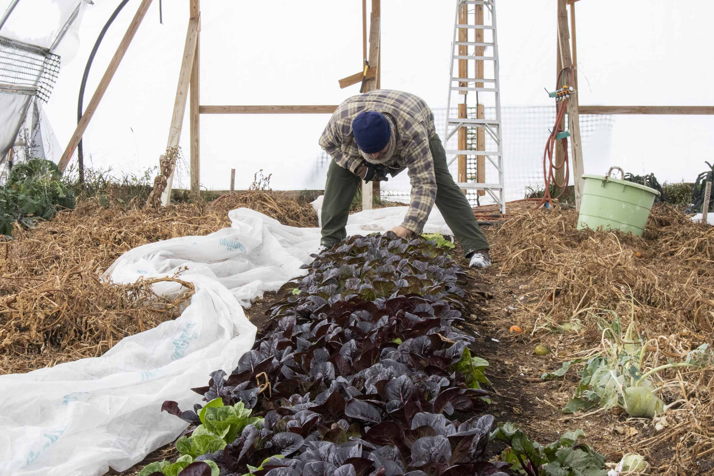 Matt Geraets checks lettuce in the greenhouse.
