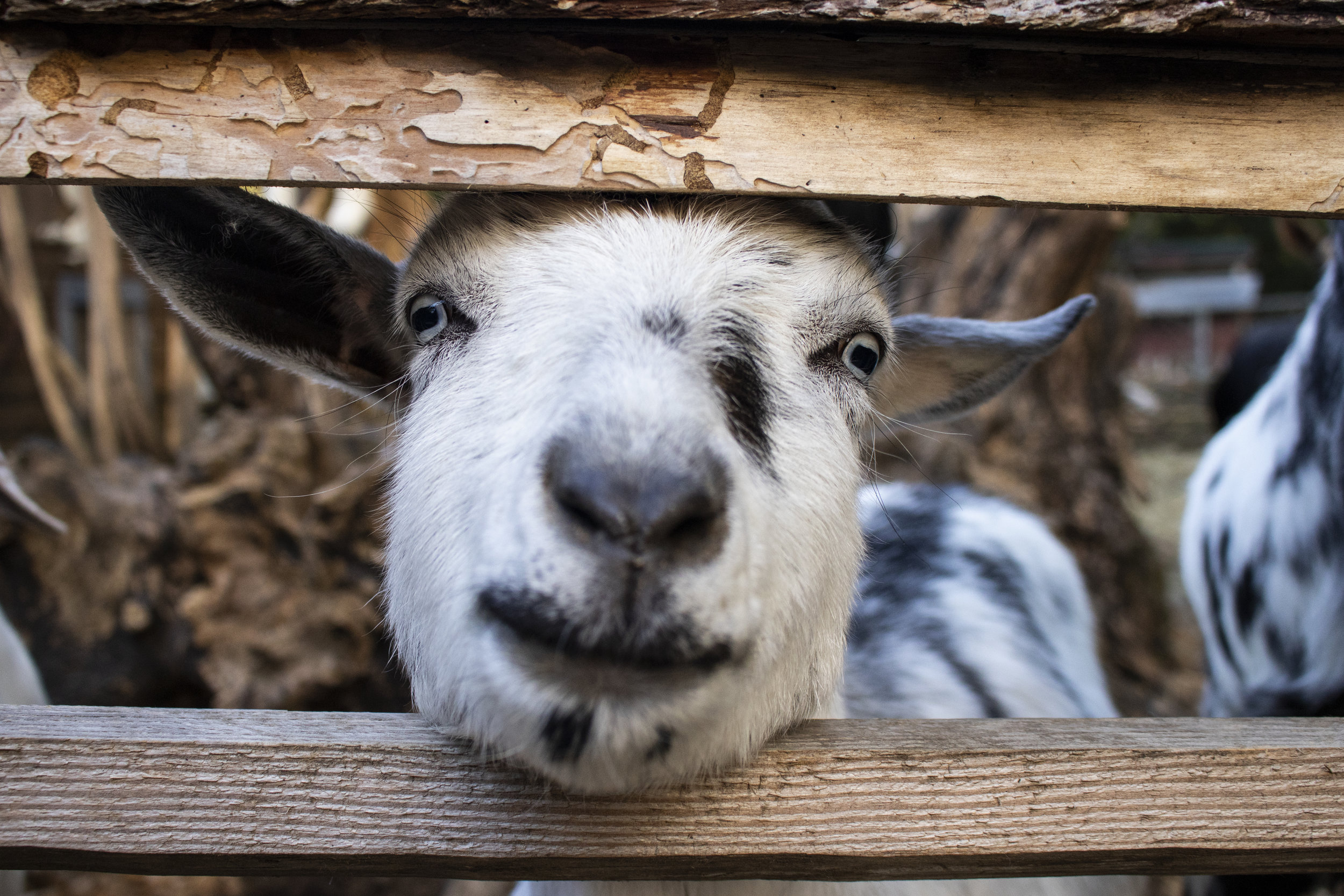 goat_close_up.jpg