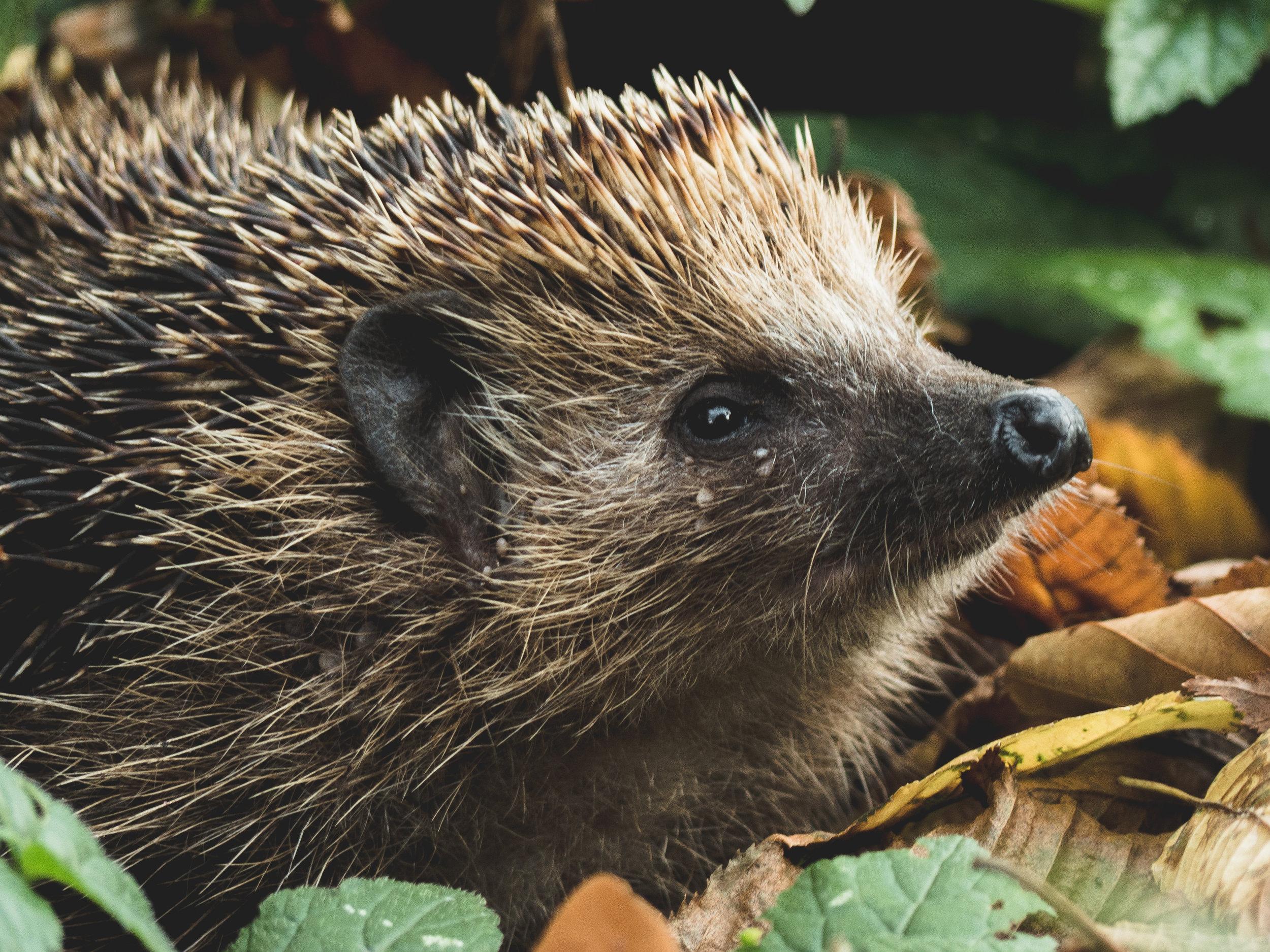Our local Hedgehogs will appreciate it!
