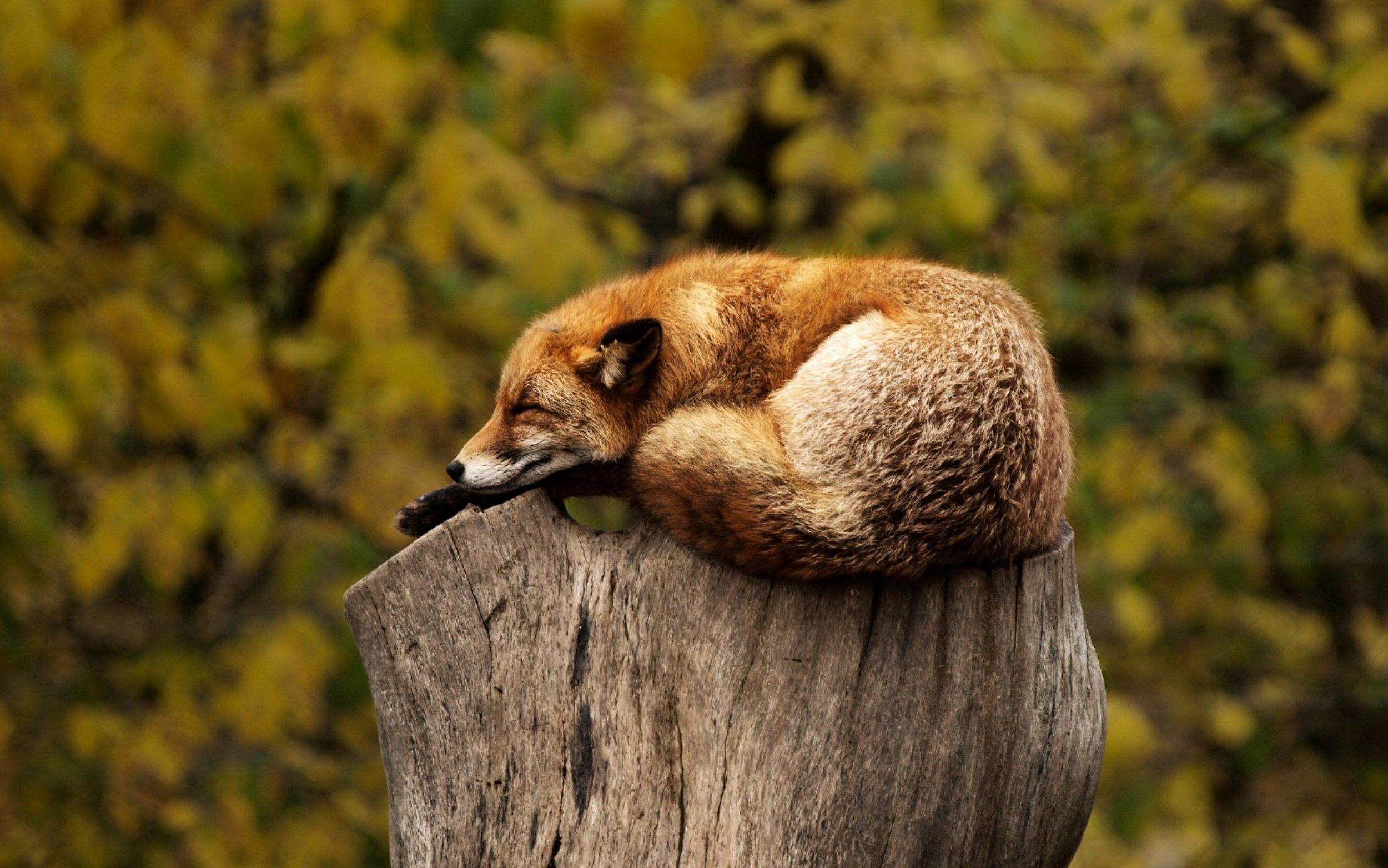 fox-1284512.jpg