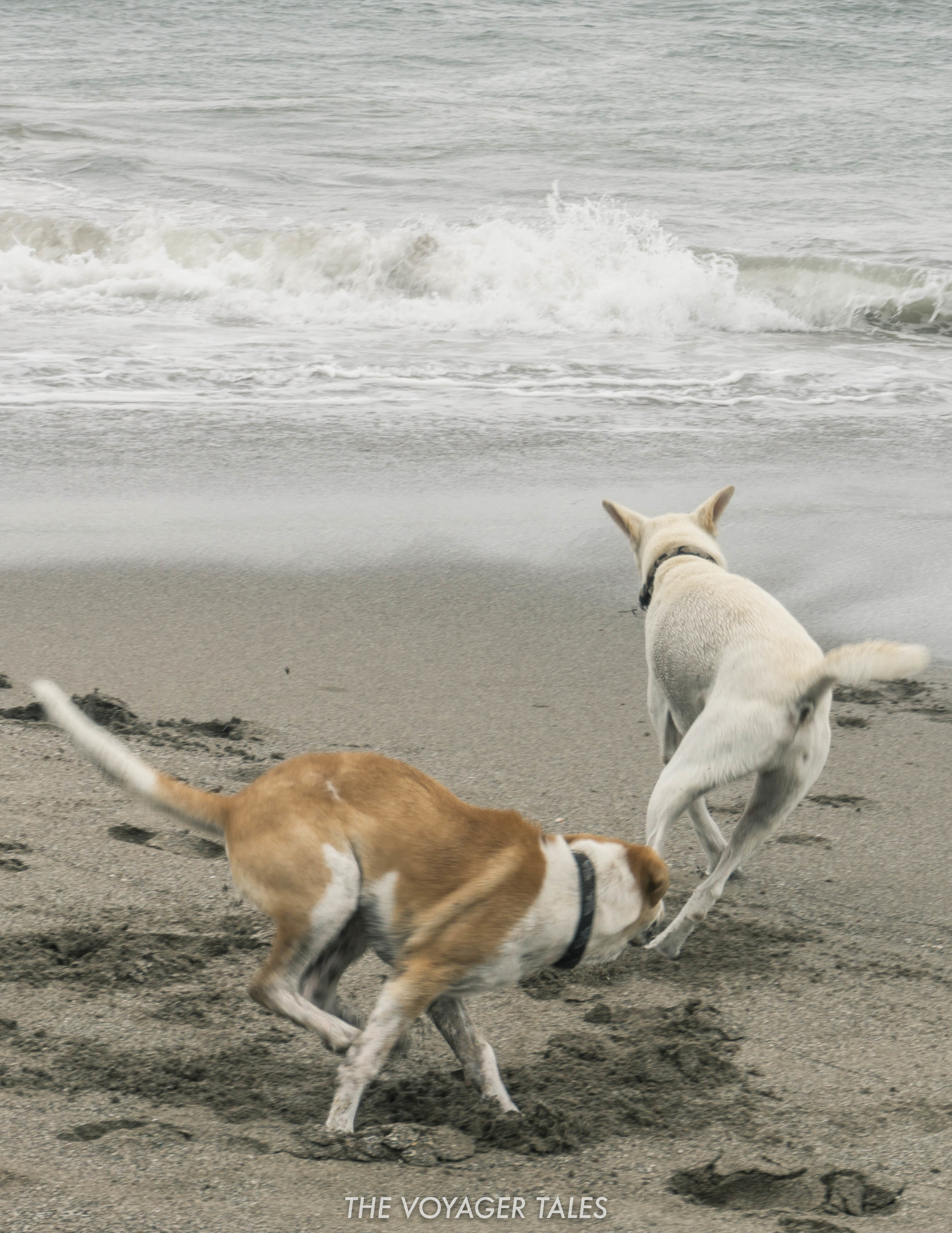 Bali dogs.jpg
