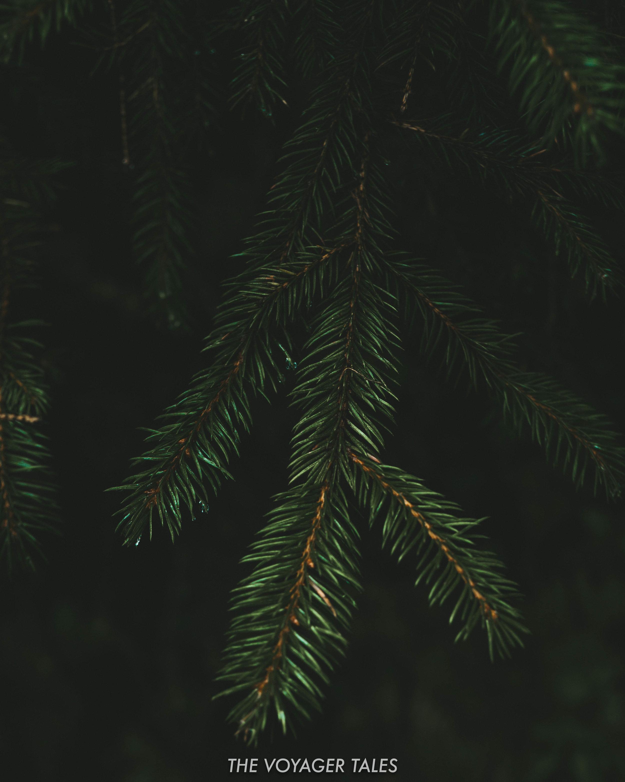 Spruce pine needles near Lago di Carezza