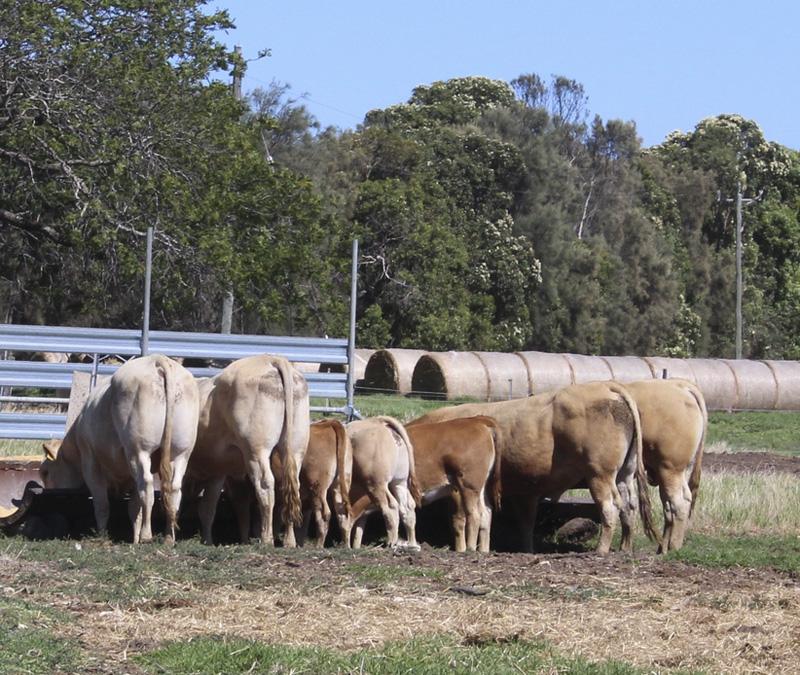 28 Gerald Bergsma Cattle.jpg