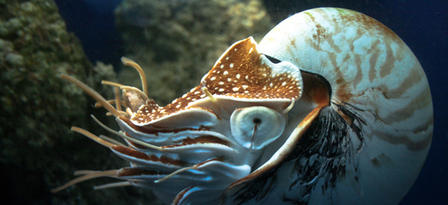 Image of a modern  Nautilus , courtesy of T. B. Smith, from https://www.amnh.org/explore/news-blogs/on-exhibit-posts/fast-facts-nautilus .