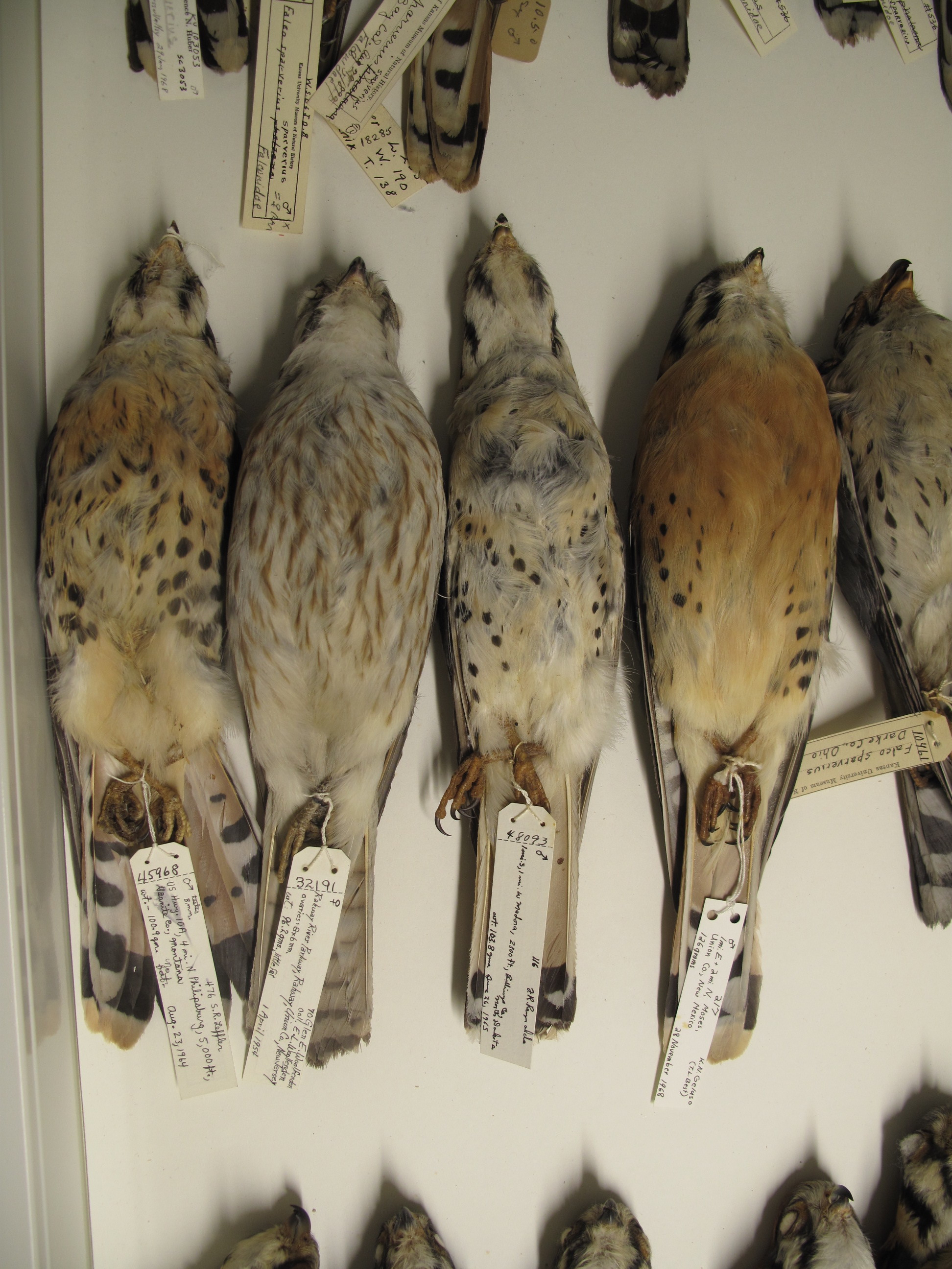 Specimens of the American Kestrel in the KU Biodiversity Institute, photograph by Mark Robbins.
